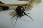 A female Katipo spider. Photo / Supplied
