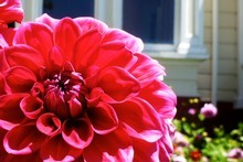 Dahlias at the front entrance to Oruawharo Arboretum. Photo / Meg Liptrot