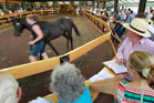 Horses are walked in front of potential buyers during Annual yearling sales held at Karaka. Photo / Steven McNicholl