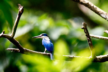 The habitat of the collared kingfisher is under threat as vast swathes of rainforest are destroyed. Photo / Jim Eagles