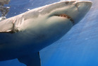 A great white shark attacked the man either before or after he drowned. Photo / Thinkstock