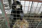 In this Saturday, March 10, 2012 photo, a moon bear which suffers from a skin tumor sits inside a cage at the quarantine section of Surabaya Zoo in Surabaya, East Java, Indonesia. Indonesia's biggest