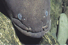 The 'horns' on the snout of a large eel give it a rather menacing appearance. Photo / Supplied