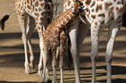 Two-month-old female giraffe, Nikuru nestles up to mum, Rukiya. Photo / Paul Estcourt