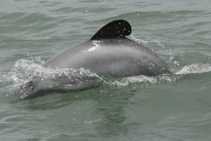 Maui's dolphin. Photo / Glenn Jeffrey