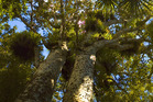 Kauri dieback in the Waitakere Ranges began causing concern about five years ago. Photo / James Shook, Wikimedia