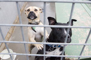 Up until now there has been a vast range of fees for standard dog licences across Auckland. Photo / Paul Estcourt