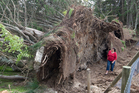 Sheryl Cook is dwarfed by trees the storm ripped from the ground in Rotorua yesterday. Photo / Stephen Parker