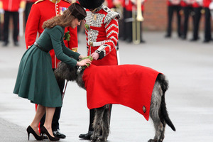 The Duchess of Cambridge attaches a sprig of shamrock to Conmeal, an Irish Wolfhound, the mascot of The Irish Guards, as she attends the St Patrick's Day Parade at the Mons Barracks in England. Photo / AP