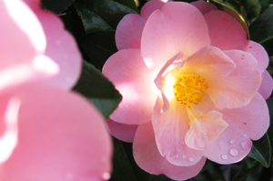 Camellia sinensis is the tea camellia, so you can have your hedge and drink it too. Photo / Supplied