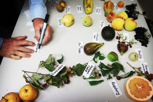 Hobby horticulturist Locky Carmichael inspects exotic fruit at the Auckland Horticulture Centre. Photo / Greg Bowker