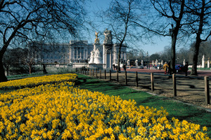 Buckingham Palace is seen across a field of daffodils. Photo / britainonview.com