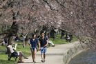 A man and a woman hold hands as they walk beneath cherry blossom trees on the National Mall in Washington DC.