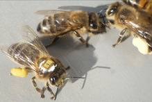 Bees used in the studies were fitted with tags to allow scientists to track them. Photo / Science/AAAS 