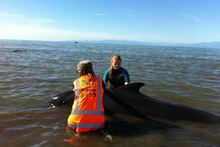 Whales are helped by volunteers at Farewell Spit following a stranding in January. Photo / APN