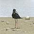 Black Stilt. Photo / Supplied