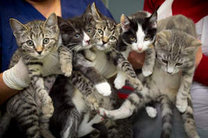 These kittens are among the 482 cats the SPCA is looking after this week. Photo / Natalie Slade