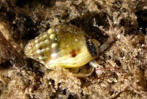 The Australian dog whelk. Photo / Supplied