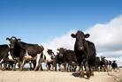 Crafar farm cows. Photo / Christine Cornege