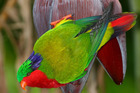 A kura or rimatara lorikeet sits on a banana flower in its new home of Atiu in the Cook islands. Photo / Peter Odekerken