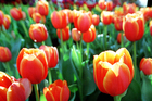 Tesselaar tulips. Photo / New Zealand Herald