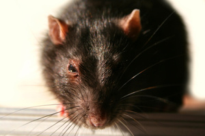 A Massey University researcher has a novel pest eradication suggestion, backed up by research: use rats to catch rats on conservation land. Photo / Thinkstock