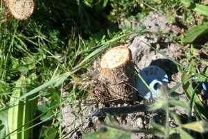 375 genetically modified radiata pine trees at a research site have been destroyed by vandals. Photo / APNZ