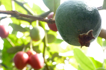 Kids can go outside on an 'Easter egg hunt' for feijoas and tamarillos. Photo / Meg Liptrot