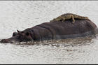 A baby crocodile mistook a giant hippo for a rock and lay across it to rest in the sun. Photo / PICTURE MEDIA