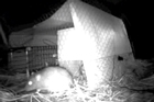 Researcher Idan Shapira, based at the Institute of Natural Sciences at Albany, has used live caged lab rats to attract and trap other wild Norway rats (Rattus norvegicus).
