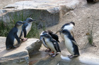 Penguins with special needs have been stolen from a care centre in Australia. Photo / Thinkstock