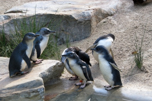 A member of the public led police to the three men who stole a fairy penguin. Photo / Thinkstock