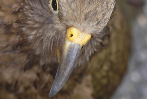 The baby kea who is in the running for the title of 'The Ugliest Bird in the World', will eventually grow into the more attractive type of kea seen in New Zealand's wild. Photo / Thinkstock