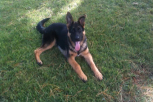 Bryant Walker's stolen German Shepherd puppy. Photo / Supplied