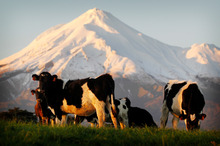 A price drop for NZ farmers was expected after milk from Europe and the US bumped up world supply. Photo / Christine Cornege