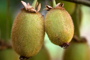 Northland is now the only major kiwifruit growing area free of the disease. File Photo / NZ Herald