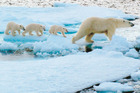 Rare polar bear triplets traverse the ice with their mother in the Svalbard archipelago, halfway between the North Pole and Tromso in Norway. Photo / Sarah McElrea