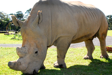 A rhinoceros at Australia Zoo's new African enclosure. Photo / Courtesy of Australia Zoo