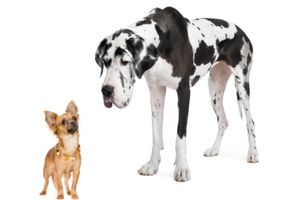 Toy dog owners are creative while Great Dane have are agreeable and intelligent. Photo / Thinkstock