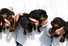 Hawke's Bay Rottweiler breeder Anne-Marie Reid got more than she bargained for when her dog, Jet, gave birth to 16 Rottweiler puppies. Photo / Glenn Taylor