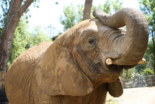 Mila the African Elephant at Franklin Zoo. Photo / File