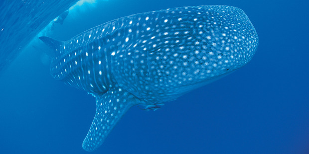 Mass coral spawning at Western Australia's Ningaloo Reef is drawing large numbers of whale sharks to the World Heritage-listed dive spot. Photo / Tourism Western Australia