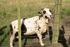 "Randy the Ram was kidnapped by rustlers while in a paddock with ""his girls""."