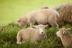 Sheep meat prices were down 12 per cent in April, falling to an 18-month low. Photo / APN