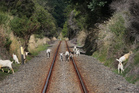 Wild goats on the railway line near Mohaka river gorge, Napier Wairoa Road. Photo / APN