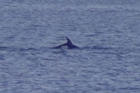 A rare sighting of a pod of Dolphins swimming just off Mission Bay in Auckland