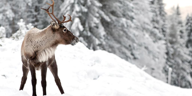 If you head to Lapland for Christmas, you might just encounter a reindeer. Photo / Thinkstock