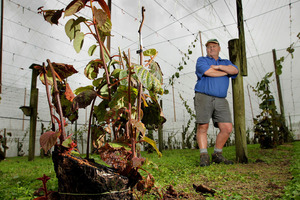 Kiwifruit grower Peter West with the remains of the single vine on which he discovered the kiwifruit vine disease Psa. Photo / Alan Gibson