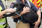 Miley the dog is carried by Harewood Acting Station Officer Steve Heritage to an awaiting Advanced Paramedic ambulance. Photo / Geoff Sloan