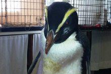 Katrina the lost Fiordland penguin. Photo / Supplied